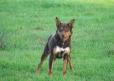 Australian Kelpie, 2 year, black