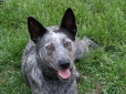 Australian Stumpy Tail Cattle Dog, 2 years, Pepper