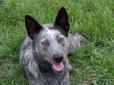 Australian Stumpy Tail Cattle Dog, 2 years, Pepper