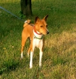 Basenji, 1 year, Brown