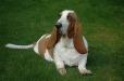 Basset Hound, 3 years, Brown and White
