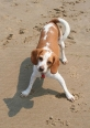Beagle, 11 months, Brown and White