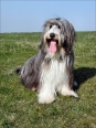 Bearded Collie, 1 year, Pepper