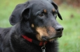 Beauceron, 1 year, Black
