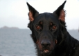 Beauceron, 2 year, Black