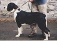 Belgian Mastiff, 1 year, Mantle
