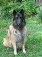 Belgian Tervuren, 5 years, Brown