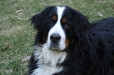 Bernese Mountain Dog, 9 months, Black and White