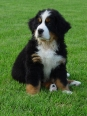 Bernese Mountain Dog, 8 weeks, Black and White