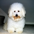 Bichon Frise, 2 years, White