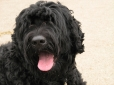 Black Russian Terrier, 2 years, Black