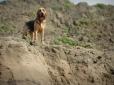 Bloodhound, 2 years, brown