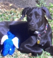 Blue Lacy, 1 year, Blue