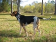 Bluetick Coonhound, 2 years, spotted
