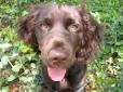 Boykin Spaniel, 7 months, brown