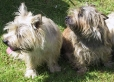 Cairn Terrier, 2 years, brown