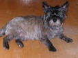 Cairn Terrier, 2 years, Gray