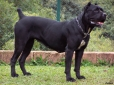 Cane Corso Italiano, 1 year, Black