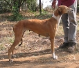 Caravan Hound, 1 year, Brown