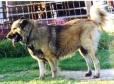 Caucasian Ovtcharka, 2 years, Brown