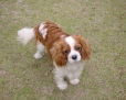 Cavalier King Charles Spaniel, 8 months, brown and white