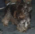 Cesky Terrier, 1 year, Brown