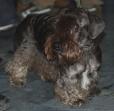 Cesky Terrier, 1 year, Brown