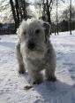 Cesky Terrier, 2 years, white