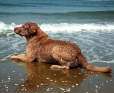 Chesapeake Bay Retriever, 2 years, Brown