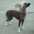 Chinese Crested, 1 year, Hairless