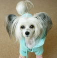 Chinese Crested, 8 months, White