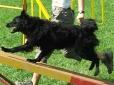 Croatian Sheepdog, 8 months, Black