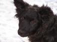 Clumber Spaniel, 6 months, black