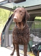 Curly Coated Retriever, 8 months, Brown