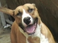 Dogue Brasileiro, 2 years, Brown