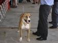 Dogue Brasileiro, 8 months, Brown
