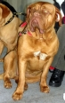 Dogue de Bordeaux, 9 months, Brown