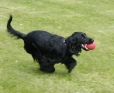 English Cocker Spaniel, 8 months, Black