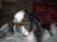 English Toy Spaniel, 4 months, Tri color