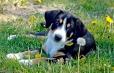 Entlebucher Sennenhund, 2 months, Tri color