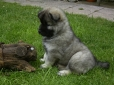 Eurasier, 6 weeks, Gray