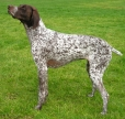 German Shorthaired Pointer, 1 year, Spotted