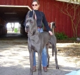 Great Dane, 3 years, Blue