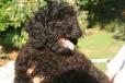Australian Labradoodle, 12 weeks, Black