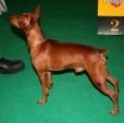 Miniature Pinscher, 2 years, Brown