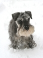 Miniature Schnauzer, 1 year, Gray