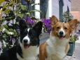 Pembroke Welsh Corgi, 1 year, Mixed