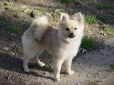 Pomeranian, 8 months, Tan