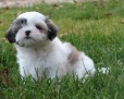 Shih Tzu, 6 weeks, White