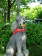 Standard Poodle, 2 years, Gray